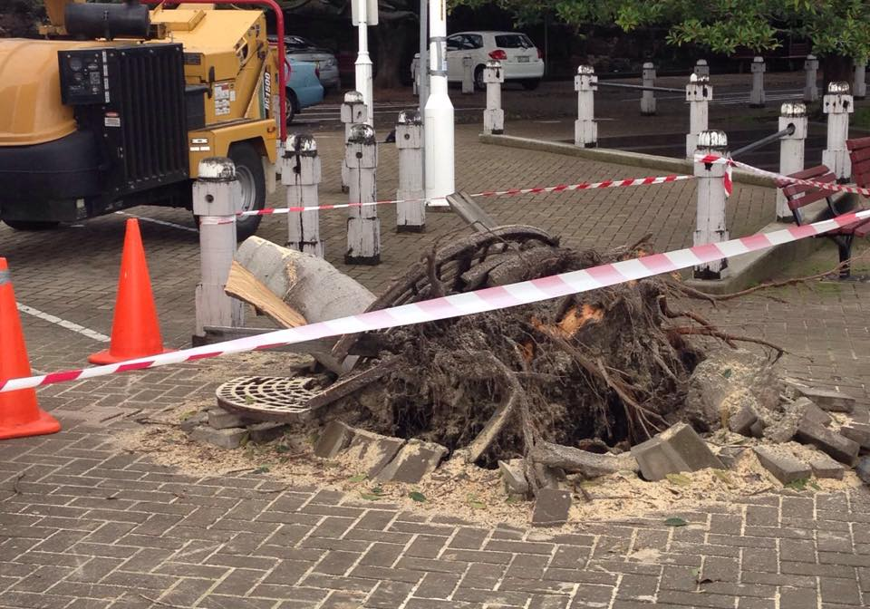 Iconic fig tree uprooted at Wollongong's harbourfront