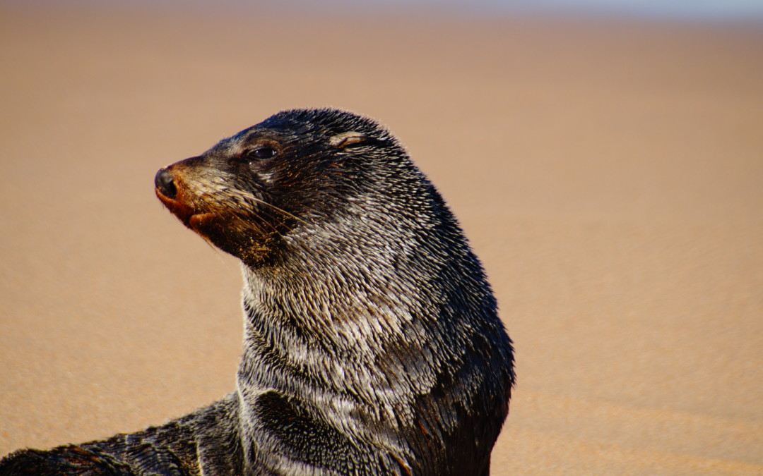 It's a man's world for a group of bachelor fur seals on Five Islands
