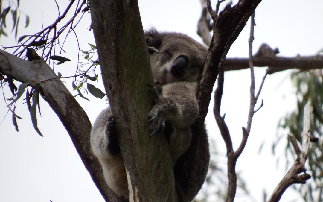 Surprise koala colony a Wollondilly wonder