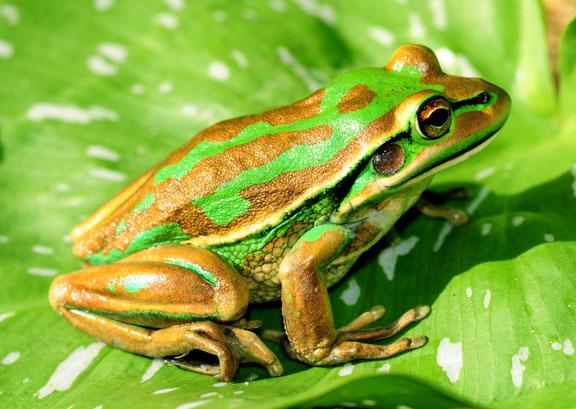 Amphibians at risk of extinction in Illawarra
