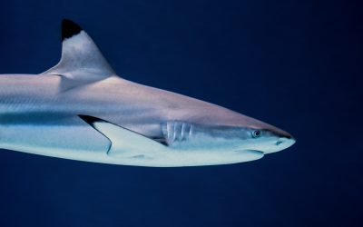 Link between climate change, shark attacks: Study